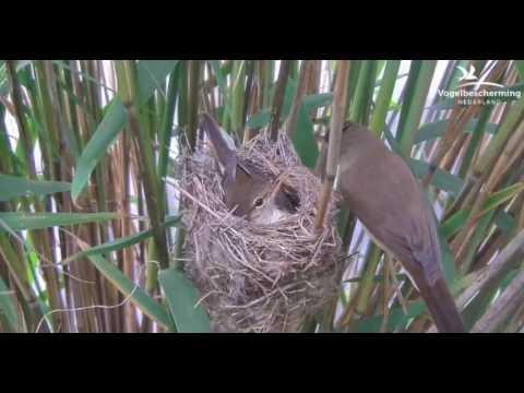 Cuckoo Egg Hatching 2  - 05.06.17