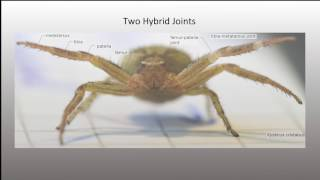 Scalable Pneumatic and Tendon Driven Robotic Joint Inspired by Jumping Spiders
