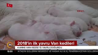 Gambar cover 2018'in ilk yavru Van kedileri dünyaya geldi