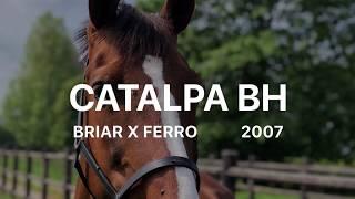 Catalpa BH