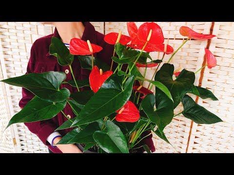 АНТУРИУМ почему НЕ ЦВЕТЕТ ❓ УХОД ❗ цветок Мужское счастье
