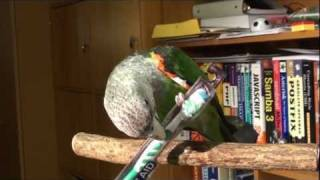 Truman Cape Parrot - Brushing His Beak With Toothbrush