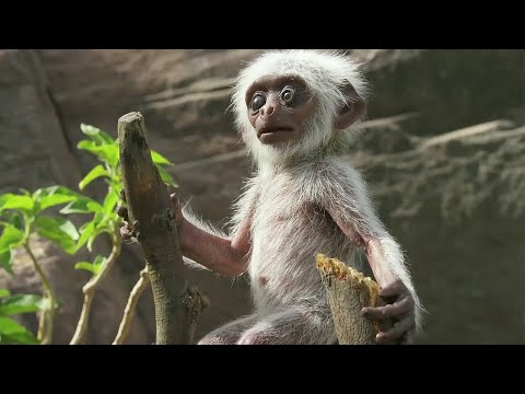 'Spy Monkey' Mistaken For Dead Baby And Mourned By Troop | BBC Earth