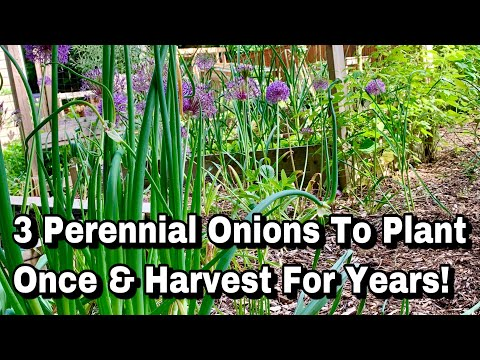 , title : '3 Perennial Onions to Plant Once & Harvest For Years!