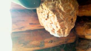 Шершни и гиганский кокон Расправляюсь с убийцами пчёл