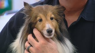 Shelties dumped at Warren County park ready for adoption
