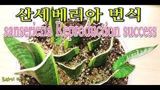 공기정화식물 산세베리아 번식방법과키우기Breeding And Growing Air Purification Plants