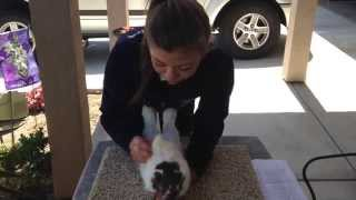 How to Raise and Show FFA Rabbits