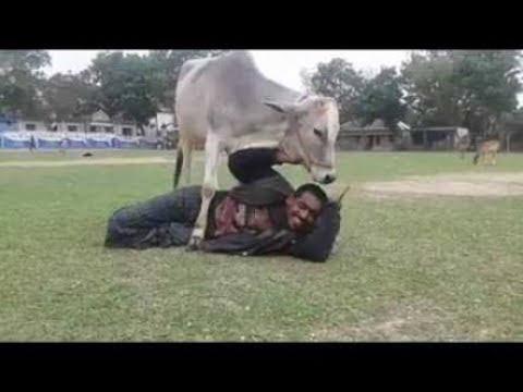 কোরবানির  গরুর এ কি কান্ড!!!!!!( funny moment of eid-ul-azha)