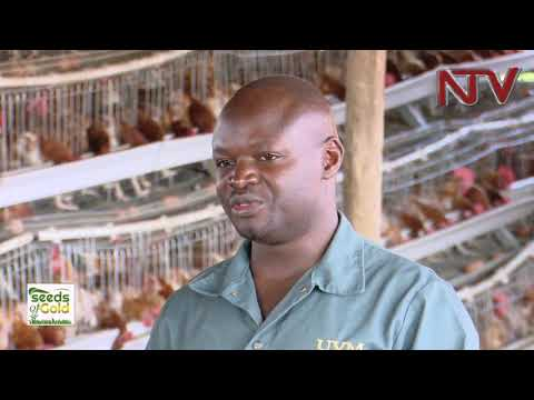 SEEDS OF GOLD: How to earn millions from poultry farming
