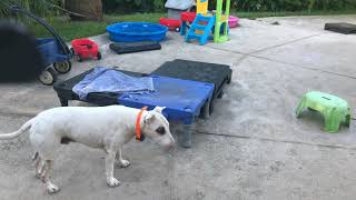 Copy of Training deaf dogs no words required bull terrier brix haptic replace words