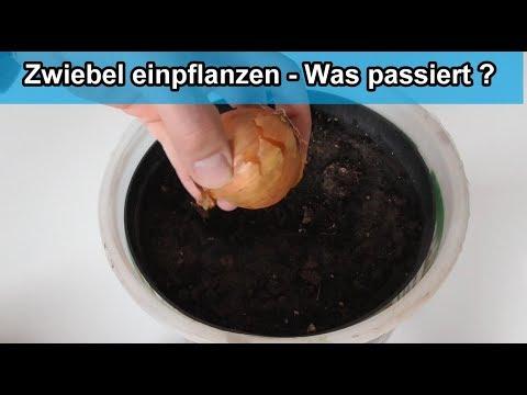 Speisezwiebeln einpflanzen – Zwiebel im Topf pflanzen / Zwiebeln aus der Küche anbauen Experiment