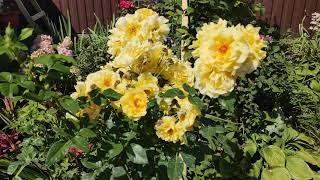 ????Повторное цветение роз???? 2020