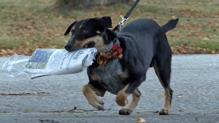 Dog delivers newspapers every morning in Mystic