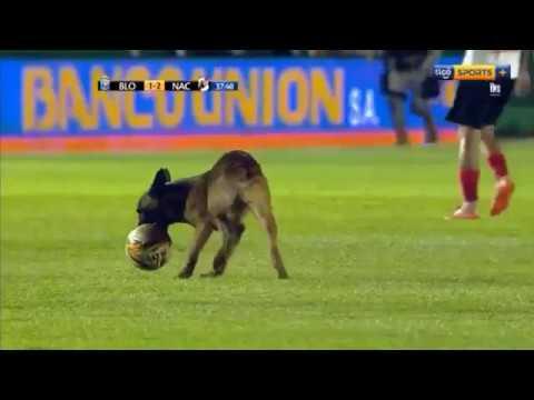 Служебный пес умыкнул мяч у футболистов