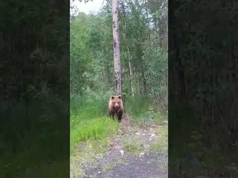 Не любит туристов этот медведь из Карелии