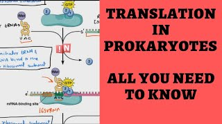 Translation in Prokaryotes - Overview of All You Need to Know