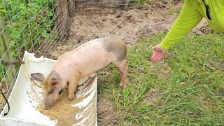 Raising Pigs For Meat: Your Pig Farming Questions Answered
