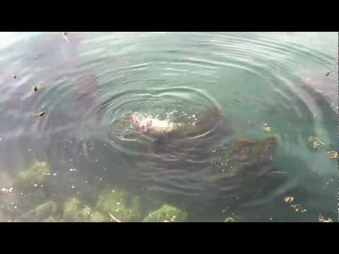 為生存而戰!海豹肉搏大章魚