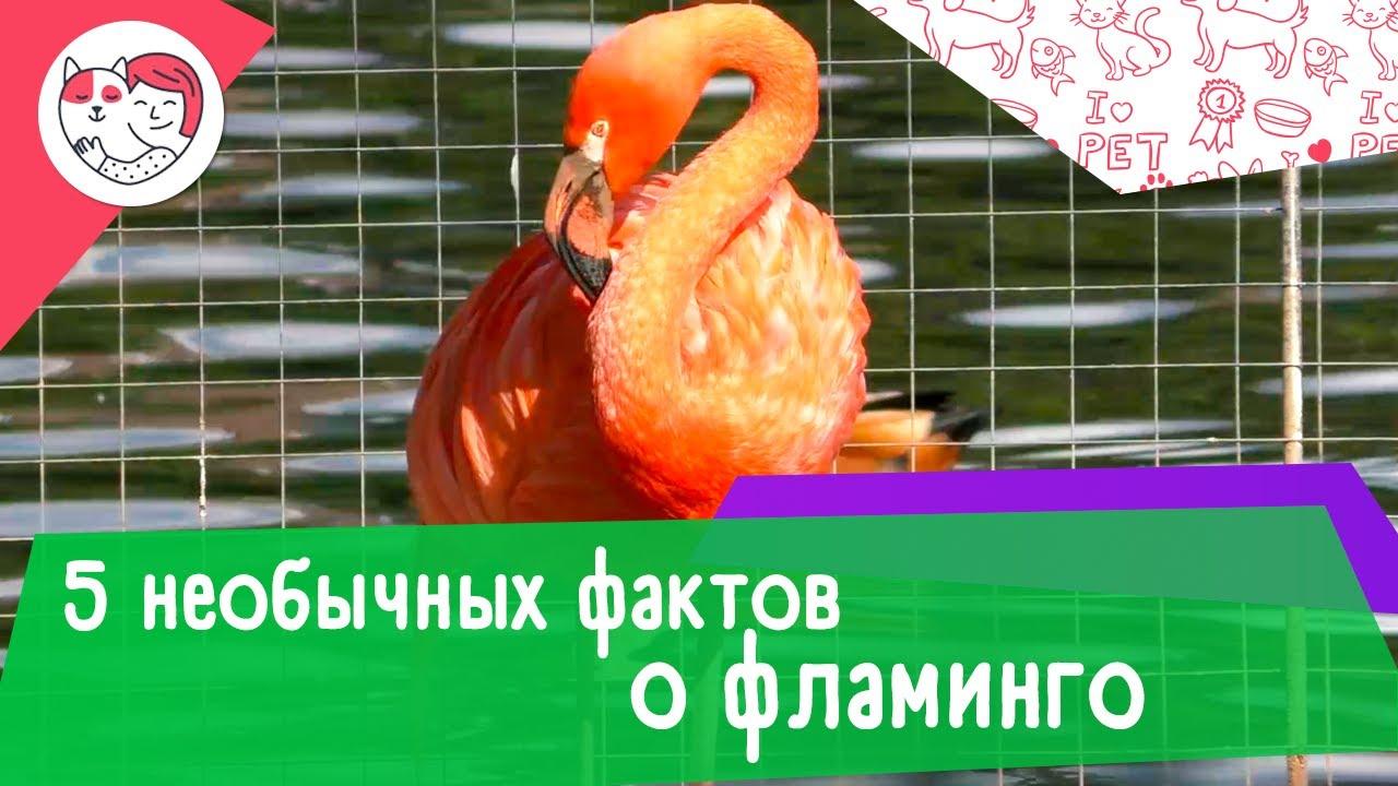5 необычных фактов о фламинго