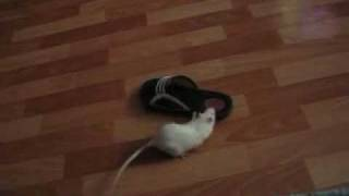 Крыса ворует тапочки