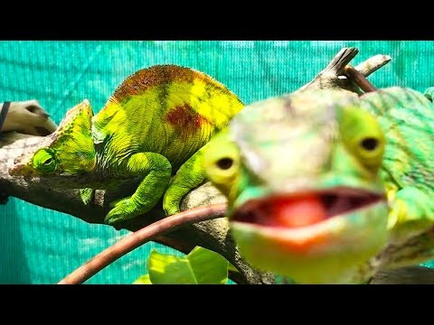 Chameleoni - Ozzy Man