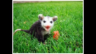 What to do if you find...a baby opossum!