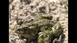 Three-legged Boreal Toad: Epic Migration Journey