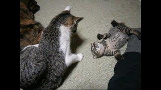 やさしくしたいのに、いつも子猫に逃げられるオス猫ちゃん(涙)Cat That Was Disliked By Kitten【いなか猫1619】japanese Funny Cat