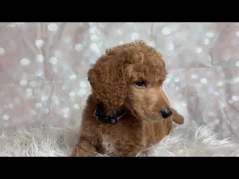 Eggnog the Standard Poodle Puppy