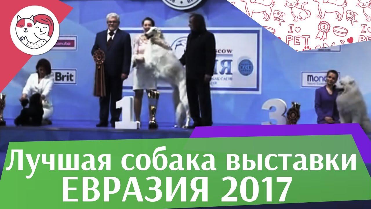 Лучшая собака выставки 19 03 17 на Евразии ilikepet