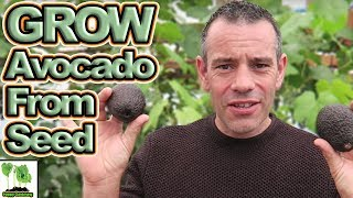 How To Grow An Avocado Tree From Seed - EASY AND FAST!