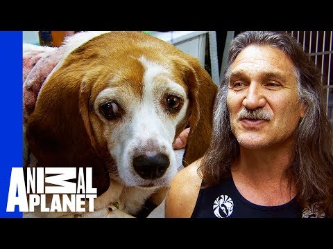 Beagle nepraras svorio - sweety.lt