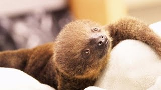 Tiny Newborn Sloth Gets Hand-Reared After Siblings Die On Mom