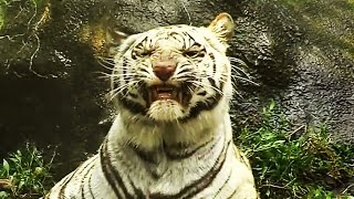 White Tiger Swimming. Белый тигр любит купаться, плавать.