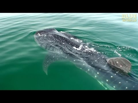 Whale Sharks of Holbox (HD) | JONATHAN BIRD'S BLUE WORLD