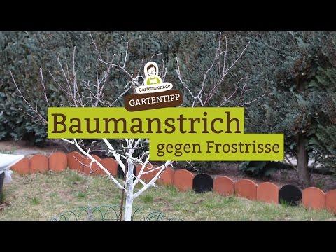 Baumanstrich / Kalkanstrich  gegen Frostrisse