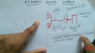 Renal artery branche's - 9a, Kidney blood supply