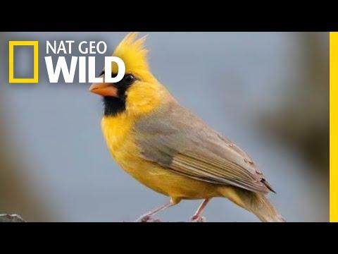 Watch: Rare Yellow Cardinal Spotted in Alabama | Nat Geo Wild