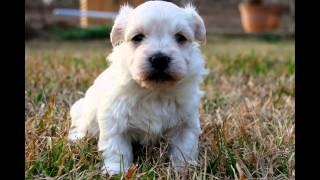 Havanese Puppies For Sale in Central Alabama