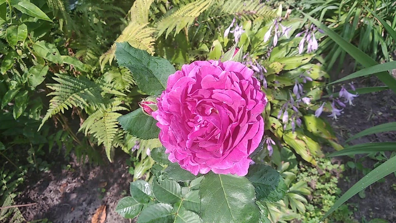 25. Роза Minerva. Цветение 31 августа 2019 года