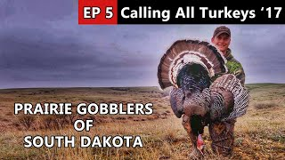 I Found Some White-Tipped Merriam Gobblers! - Calling All Turkeys