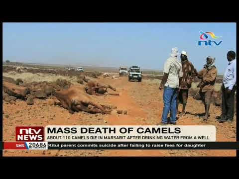 About 110 camels die in Marsabit after drinking water from a well