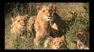 Tracking the KAMBULA PRIDE of LIONS