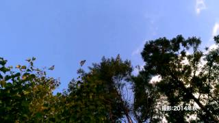 赤城自然園・渡りチョウ『アサギマ ダラ』の飛来 その2:飛行ショー