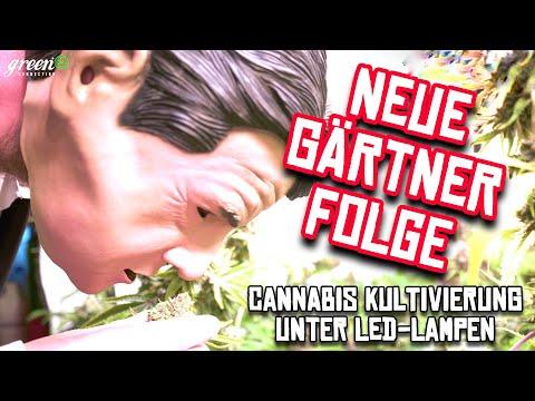 Cannabis Kultivierung unter LED | 32 Pflanzen in einem Zelt | German HomeGrow Report