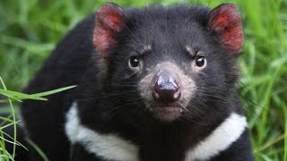 Tasmanian Devil Cancer Cure Could Hold Clues For Humans