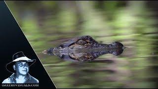 Alligator Hatchlings And Catfish 01 Footage