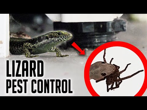 Aussie guy introduces Lizards into his house in an attempt to solve his Spider problem.
