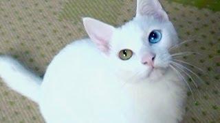 Odd-eye white cat  Yuki. She has beautiful two colored eyes. She is a good-luck cat !